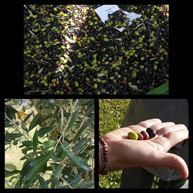 Das Olivenöl und seine Herstellungsmethoden