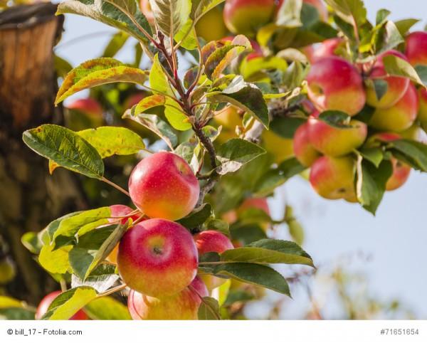 Rezept: Birnen & Apfelmostarda