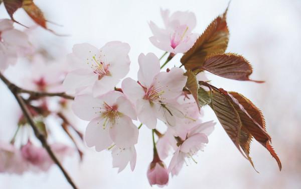 japanese-cherry-trees-2193226_1280