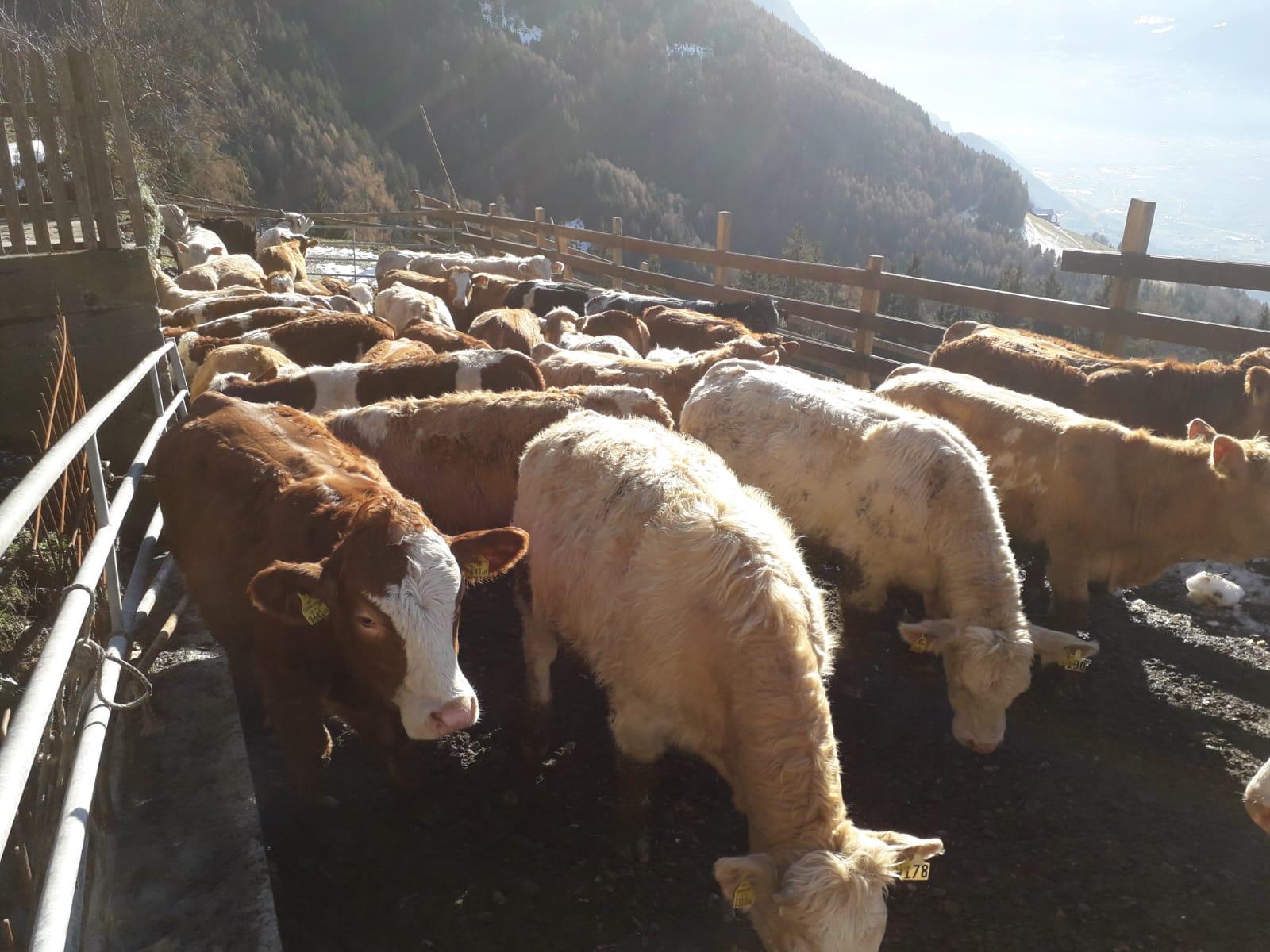 Einheimisches Rindfleisch vom Rieser Hof in Schenna