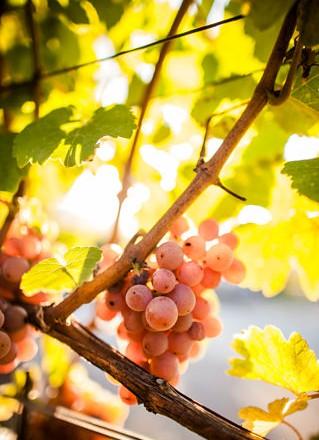 Crashkurs Wein 9: Drei Rebsorten mit Ursprung in Südtirol